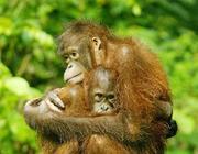 malesia-orango