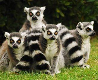 lemuri-r